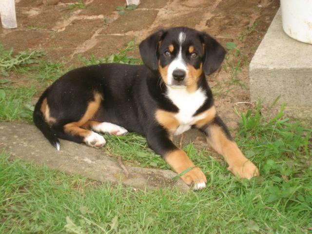 Entlebušský salašnický pes – štěňátka 2 pejsci a 1 fenečka 25ef14eede3